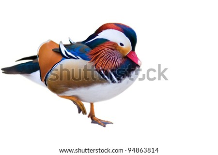 male mandarin duck (Aix galericulata) - isolated on white background - stock photo