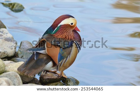 Male mandarin duck near the lake - stock photo