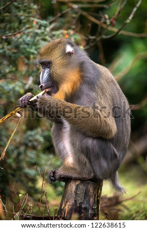 male mandrill perched on wooden post eating/Mandrill Eating - stock photo