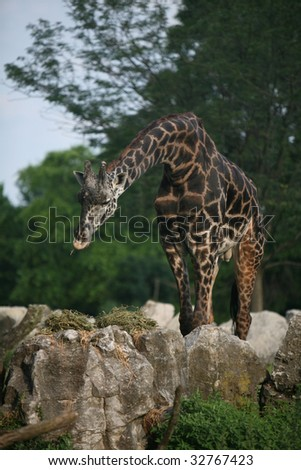 male masai giraffe eating hay