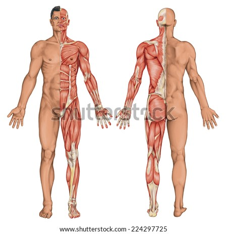 male, masculine, man's anatomical body, surface anatomy, body shapes, anatomy of muscular system, anterior posterior view, full body