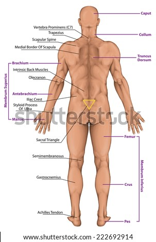 Male Masculine Mans Anatomical Body Surface Stock Illustration ...