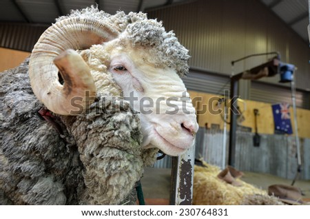 Male Merino sheep sheep Australian Sheep shearing farm in Queensland, Australia. - stock photo