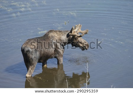 Male Moose with Antlers in Velvet Feeding in pond at Grand Teton national Park