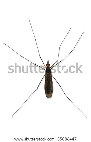 Male mosquito isolated on a white background - stock photo