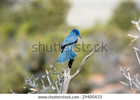 Male Mountain Bluebird - stock photo