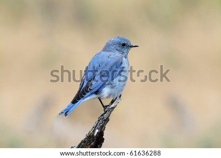 Male Mountain Bluebird (Sialia currucoides) in Yellowstone National Park - stock photo