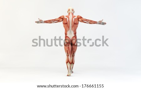 Male muscle anatomy