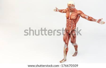 Male muscle anatomy - stock photo