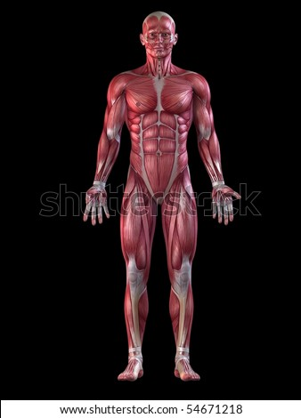 male muscular system - stock photo