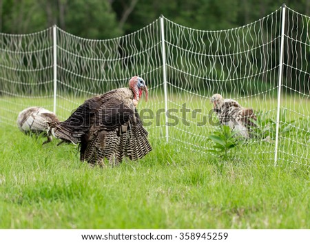 Male Narragansett Turkey Displaying for a Female in a Pasture Enclosed by Portable, Electric Fencing on a Rural Homestead. - stock photo