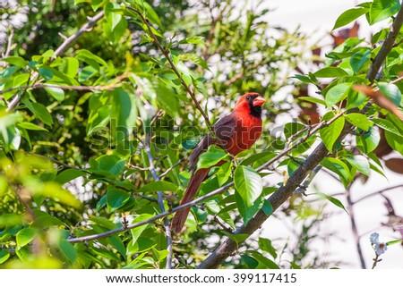 Male Northern Cardinal bird (Cardinalis cardinalis) perching on branch in spring garden. Selective focus. - stock photo