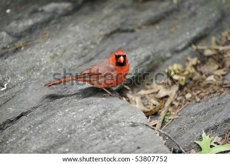 Male Northern Cardinal: Cardinalis cardinalis - stock photo