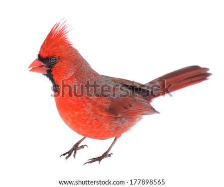 Male northern cardinal, Cardinalis cardinalis, isolated on white - stock photo