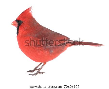 Male northern cardinal, Cardinalis cardinalis, isolated on white - stock photo