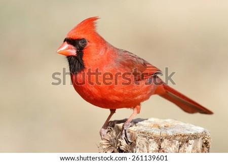 Male Northern Cardinal (cardinalis cardinalis) on a branch - stock photo