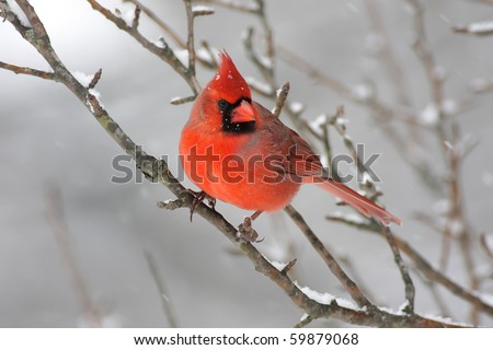 Male Northern Cardinal (cardinalis cardinalis) on a branch covered with snow