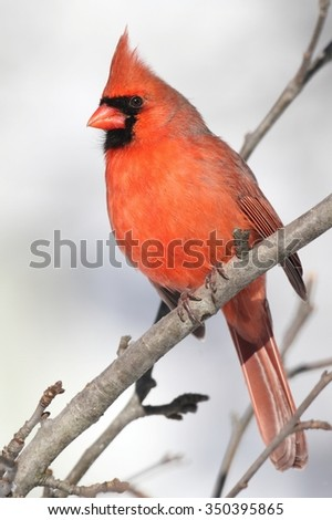 Male Northern Cardinal (cardinalis cardinalis) on a branch in a snow storm