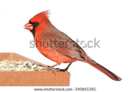 Male Northern Cardinal (cardinalis cardinalis) on a feeder in winter - stock photo