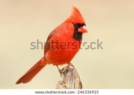 Male Northern Cardinal (cardinalis cardinalis) on a fence with a colorful background
