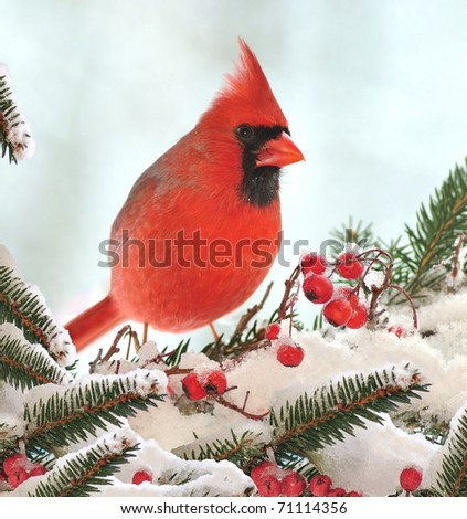 Male Northern Cardinal (Cardinalis cardinalis) on a festive spruce bough. - stock photo