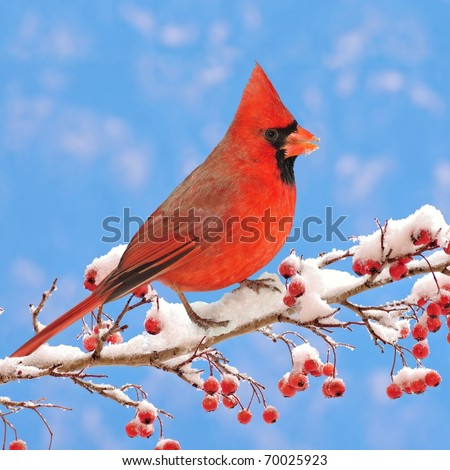 Male Northern Cardinal (Cardinalis cardinalis) on a snowy Hawthorn branch laden with red berries. - stock photo
