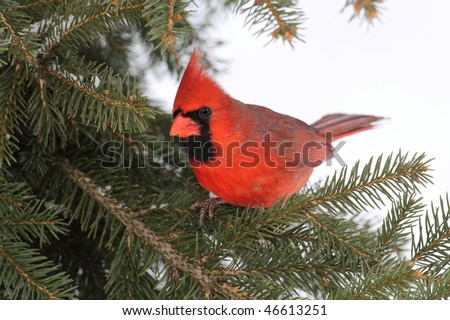 Male Northern Cardinal (cardinalis cardinalis) on a Spruce branch with snow in the background - stock photo