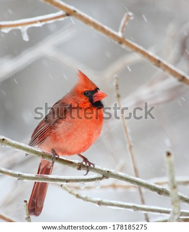Male northern cardinal, Cardinalis cardinalis, on an icy tree branch with snow falling