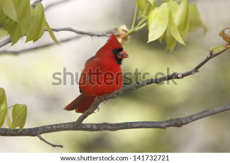 Male Northern Cardinal (Cardinalis cardinalis) perched in a hickory tree - Grand Bend, Ontario