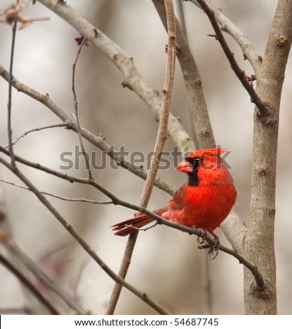 Male northern cardinal, Cardinalis cardinalis, perched on a tree branch