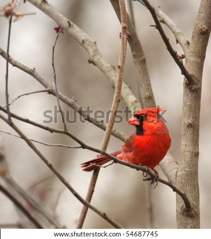 Male northern cardinal, Cardinalis cardinalis, perched on a tree branch - stock photo