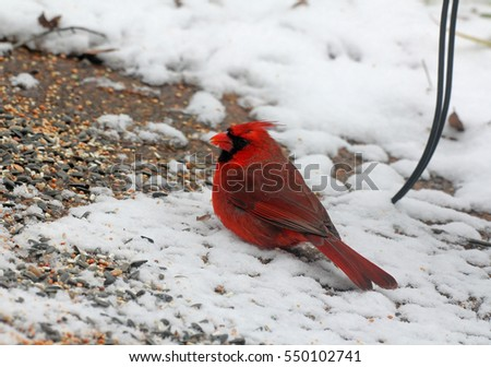 Male Northern Cardinal (Cardinalis cardinalis) scratching for  seeds scattered over snow covered patio of neighborhood birding enthusiast.