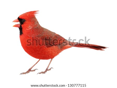 Male northern cardinal, cardinalis cardinalis, with its beak open isolated on white - stock photo
