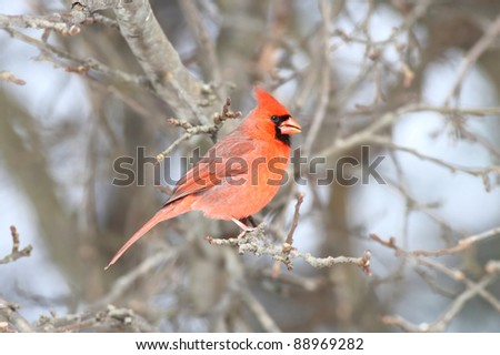 Male Northern Cardinal (cardinalis) on a perch and a colorful background
