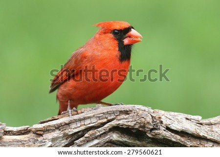 Male Northern Cardinal (cardinalis) with a green background - stock photo