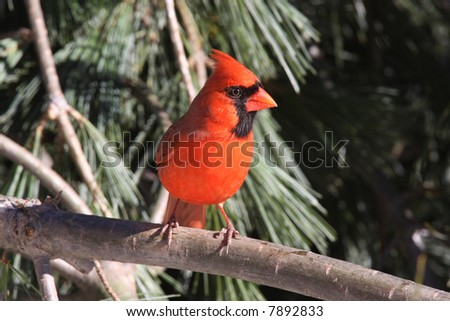 Male Northern Cardinal in a White Pine Tree in early winter