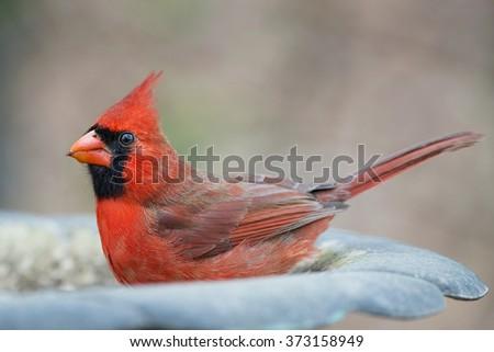 Male Northern Cardinal in Birdbath - stock photo