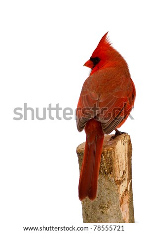 Male Northern Cardinal on perch isolated against a white background