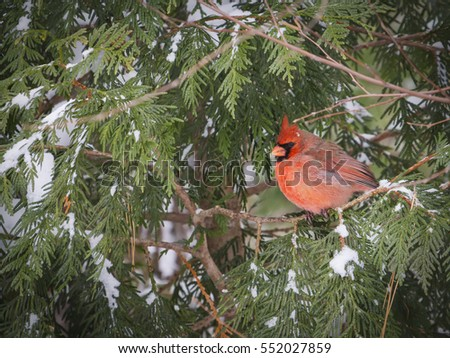 Male Northern Cardinal perched in evergreen as snow falls.