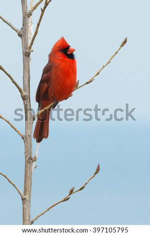 Male Northern Cardinal perched on a branch.