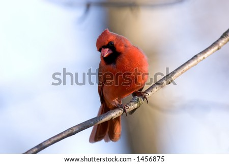 Male Northern Cardinal perched on a branch with an interested look on his face - stock photo