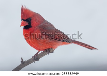Male Northern Cardinal perched on a limb in Lexington, Kentucky during Winter Storm Thor.