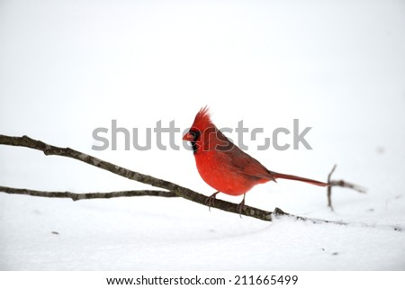 Male northern cardinal perched on a stick on the ground following winter snow - stock photo