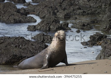 Male Northern Elephant Seal at Rookery on California Coast - stock photo