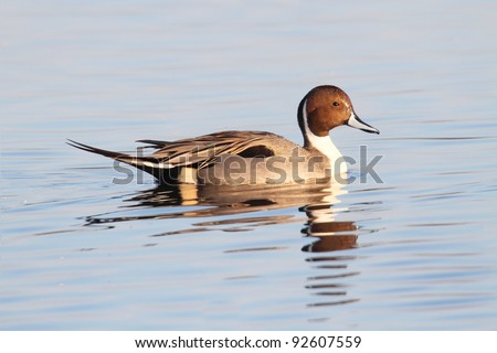 Male Northern Pintail (Anas acuta) swimming in blue water - stock photo
