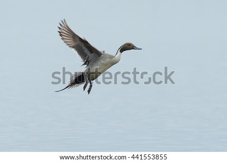 Male Northern Pintail coming in for a landing.