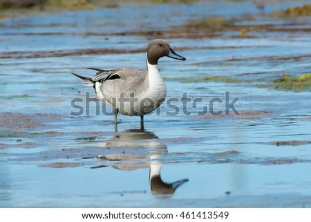 Male Northern Pintail standing in a salt water tidal marsh.