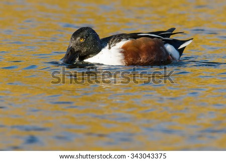 Male Northern Shoveler swimming in the open water siphoning the surface for food.