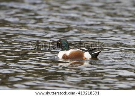 Male Northern Shoveler swimming on lake - stock photo
