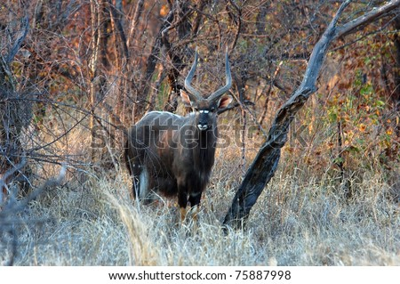 Male Nyala antelope in the Kruger Park, South Africa. - stock photo